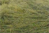 unseasonal rains set wheat and pulses crops in jhansi