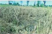 25 mm held in julana rain wheat and mustard crop destroyed