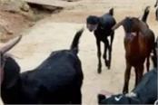 lockdown america corona virus goat rmasks
