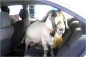 goat thief reached hospital