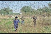 jhansi locust attack devastated large scale crop administration strategy