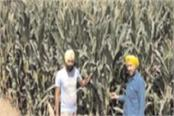 farmers happy this time due to high consumption of maize and good prices