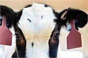 cow s antibodies will eliminate corona