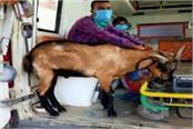 unique love corona goats in an ambulance with an infected owner