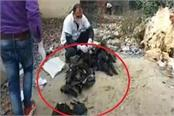 rampur khet jungle has seen dozens of dead crows people came in panic
