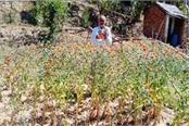 saffron crop in this village of ghumarwin