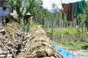 garlic production falls due to weather farmers are still happy