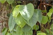 oxygen rich peepal leaf will protect against corona virus
