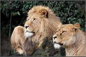 corona havoc continues on humans as well as animals now lions