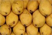 world famous chausa mango of saharanpur is exported to many countries