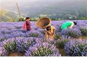 lavender farming in jammu bhaderwah