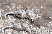 2 cubs of leopard found dead