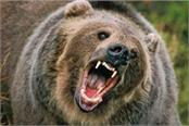 wild bear attacked rural youth with death