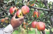 apples are going to be cheap