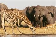cow could soon be largest land mammal left due to human activity