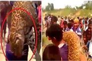 roar of leopard hits leopard