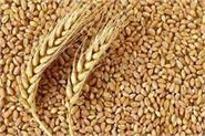 government raises customs duty on wheat