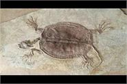 fossil of turtle of jurassic period millions of years found in china