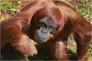 the world s oldest sumatrai orangutan death mother of 11 children