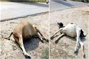 people started throwing dead animals on the streets