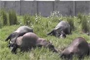 5 buffaloes died due to hiatus wires