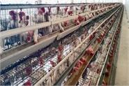 lockdown heavy on poultry business