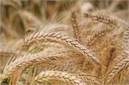 government procurement of wheat more than last year amid corona crisis