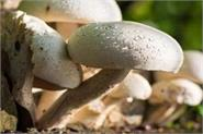 farmers  income increased by growing oysters and milky mushrooms
