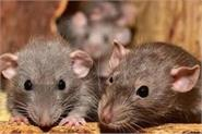 australian hit by worst mice plague in decades