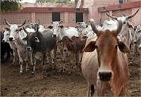 कांगड़ा के कई क्षेत्रों में पशुओं में फैली बीमारी, विभाग बना मूकदर्शक