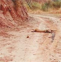 अब करौरां के जंगल में दिखा तेंदुआ