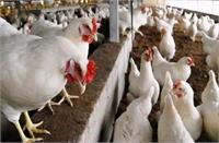हांसी ब्रांच नहर में बहकर आए भारी मात्रा में मरे हुए मुर्गे, कोरोना के बीच लोगों में पैदा हुई चिंताए