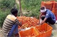 लॉकडाउन ने फिर बढ़ाई टमाटर उत्पादक किसानों की चिंता, ओने पौने दामों पर बेचने को हुए मजबूर