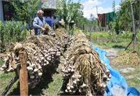 मौसम के कारण गिर गया लहसून का उत्पादन, फिर भी खुश हो रहे किसान