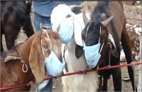 Bakrid Special: कुर्बानी वाले बकरे कर रहे हैं कोरोना गाइडलाइन का पालन, चेहरे पर लगाया हुआ है मास्क