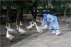 high alert for bird flu in up the process of death of birds is not stopping