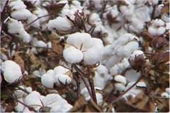 supreme court ceases direct cotton procurement