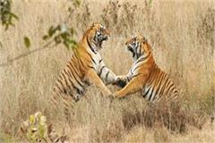 in the kanha national park the tiger killed and ate the tiger