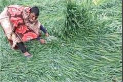 haryana news rain in haryana