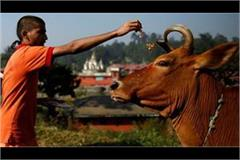 gopashtami celebrated with reverence people worshiped cow