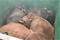 up govt frees 19 cows on gopashtami 1 animal smuggler arrested