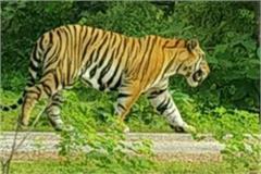 tiger in damoh