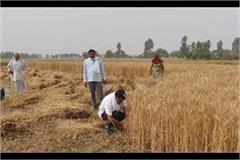 balraj kundu harvested crops in the fields encouraged