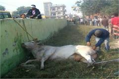 the bull went on a rampage many people were injured the day the city was in chaos panic