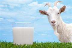 haryana goat milk ambala