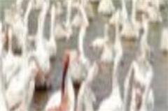 haryana  hisar  bird flu  kalinga campaign  blue bird