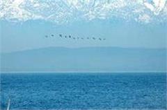 pong lake tourists masroor temple migratory bird