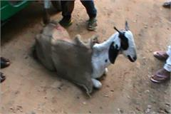 haryana goat rape youth police