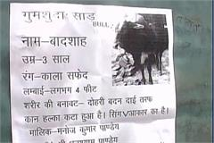 find missing ox shall be a reward of rs 50 000