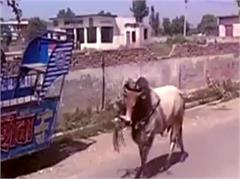 meerut bull bicycles doctor